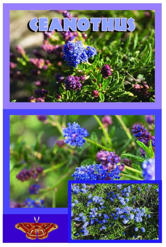 Lilac Ceanothus Campaign1drft